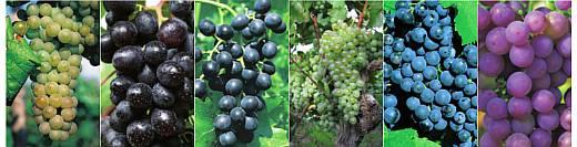 Weintrauben-Sorten_Vitis_vinifera_Trauben